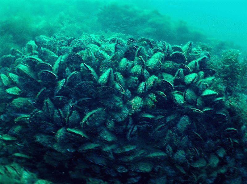 Мидии в Черном море