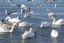 В Анапу прилетели лебеди