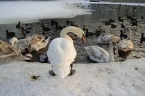 Лебеди на море в Анапе