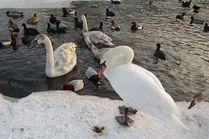 Лебеди зимуют в Анапе