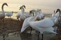 Лебеди на берегу в Анапе
