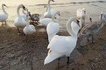 Лебеди на берегу Черного моря в Анапе