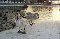 Лебеди на речке Анапке