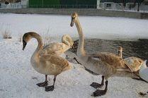 Лебеди на Анапке
