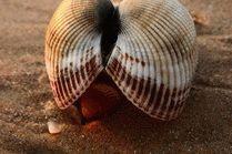 Ракушка на пляже Анапы
