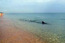 Дельфин в Благовещенской