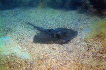 Морской кот в Геленджике