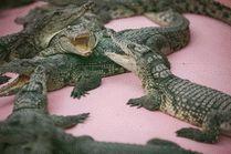 Фото крокодиловой фермы в Голубицкой