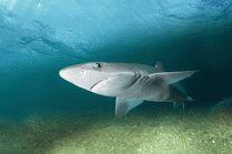 Акула Катран - Подводный мир в Анапе