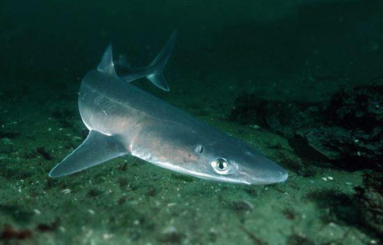Черноморская акула