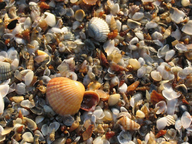 Ракушки в Черном море
