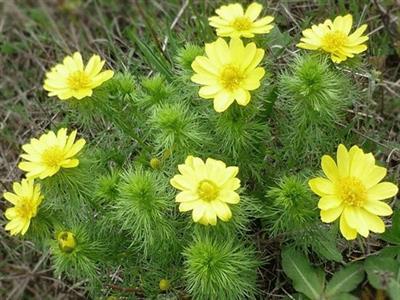 Адонис весенний (Горицвет весенний)