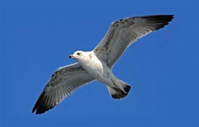 Чайка Черного моря
