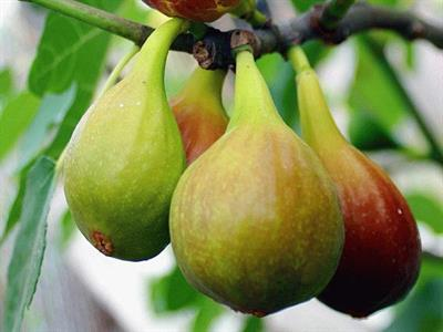 Инжир – Фиговое дерево