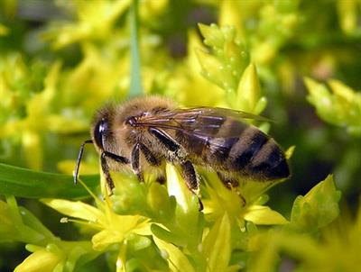 Лечение пчелами в Анапе