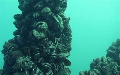 Мидии Черного моря