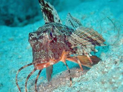 Рыба Морской петух