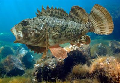 Опасная рыба Черного моря