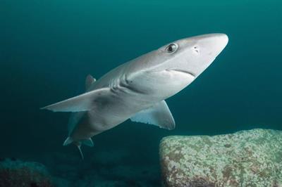 Опасны ли акулы в Черном море