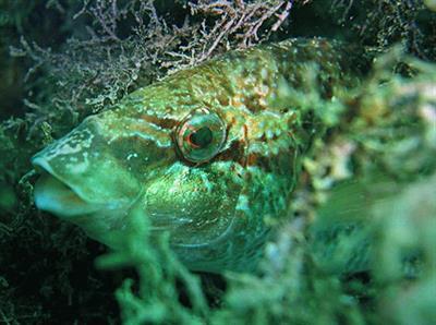 Рыба Губан - Зеленушка