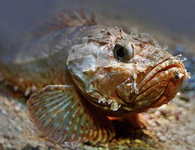 Рыба Скорпена
