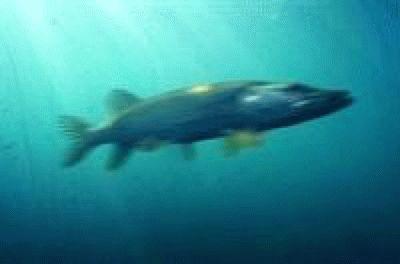 Скорость рыб