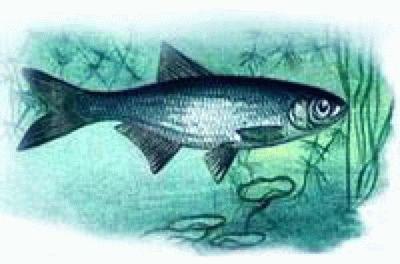 Слышат ли рыбы? Прекрасно слышат!