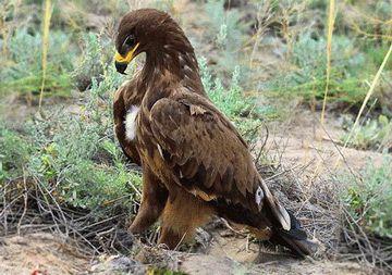 Степной орёл
