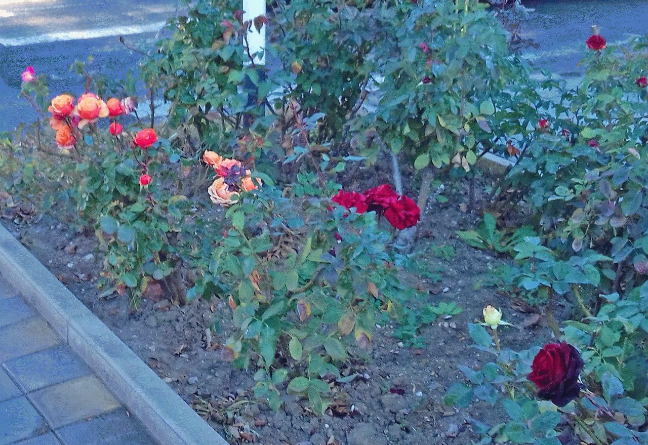 На газонах в ноябре растут розы