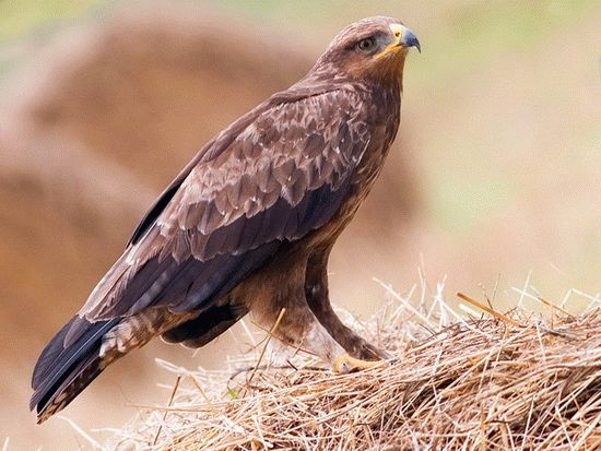 Беркут - гордая хищная птица