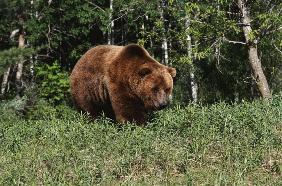 Медведь в Краснодарском крае