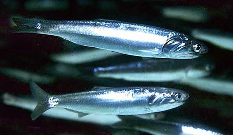 Черноморская рыба хамса