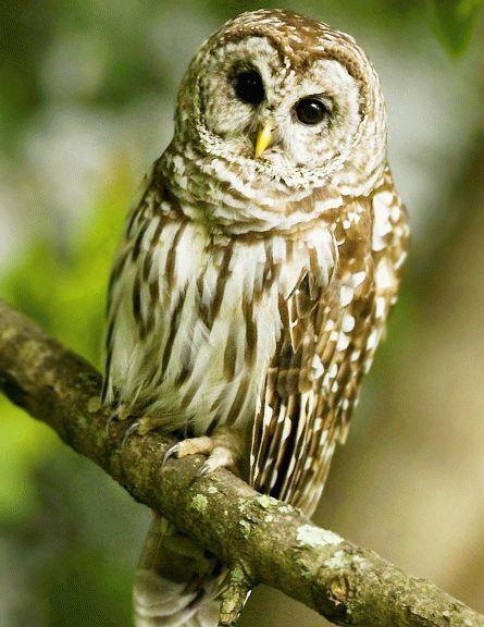 Хищная птица на Кубани - Филин