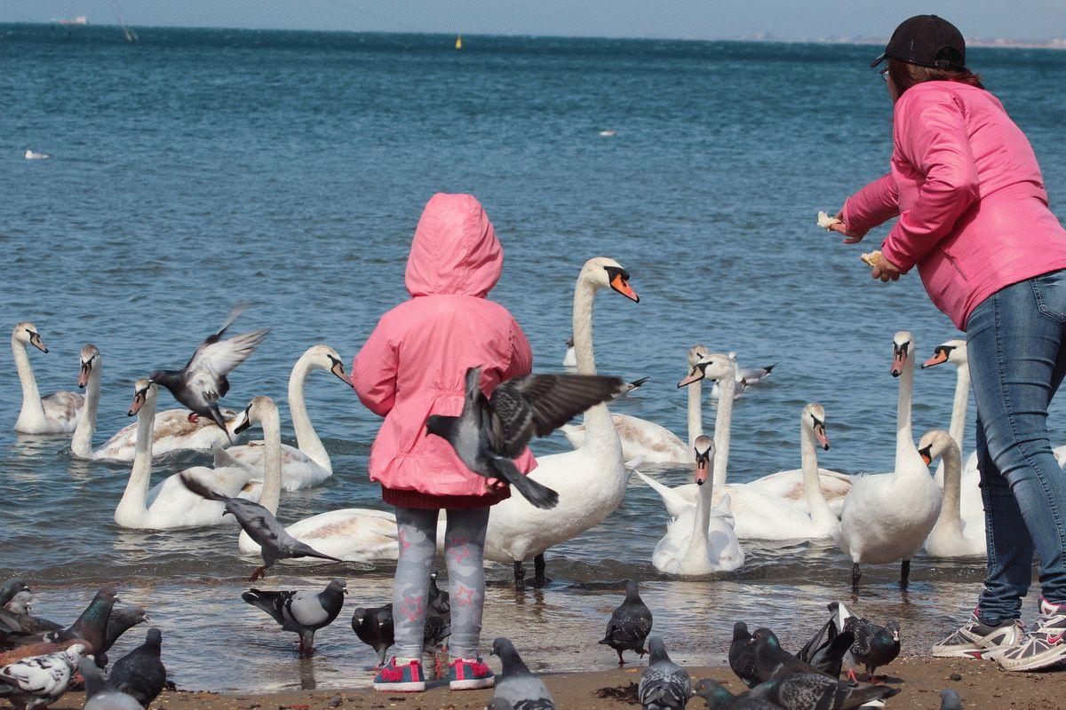 Лебеди на пляже в Анапе