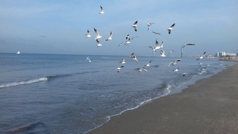 Чайки ловят хамсу