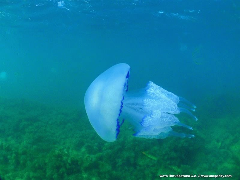 Медузы обитающие в Черном море