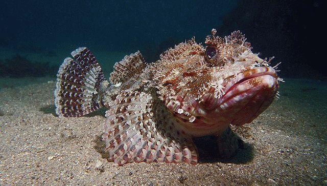 Опасная черноморская скорпена