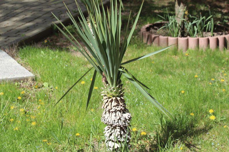 Растут ли пальмы в Анапе
