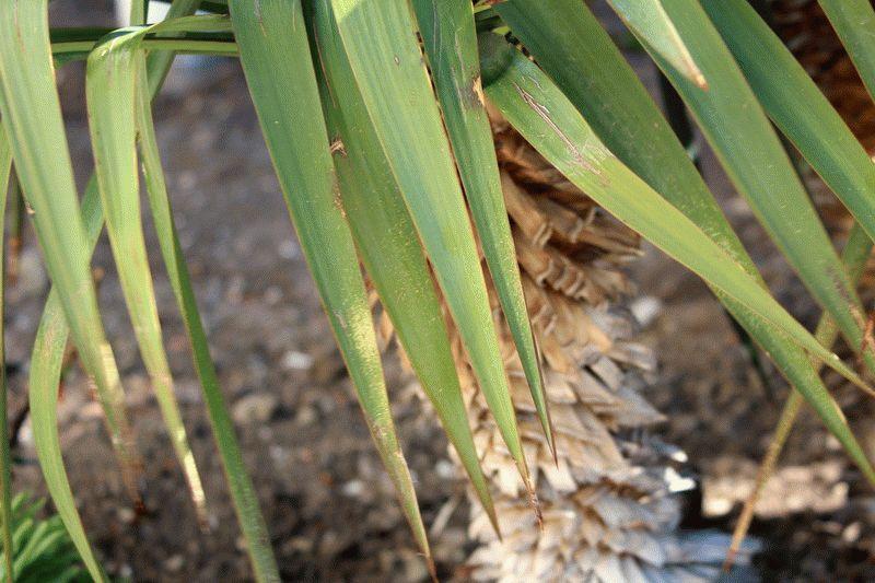 Фото пальмы в городе Анапа
