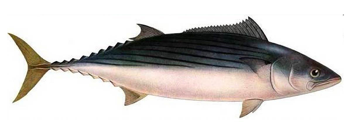 Рыба Пеламида