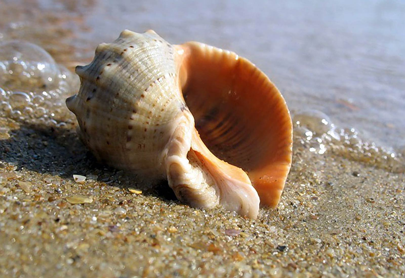 Моллюск рапана