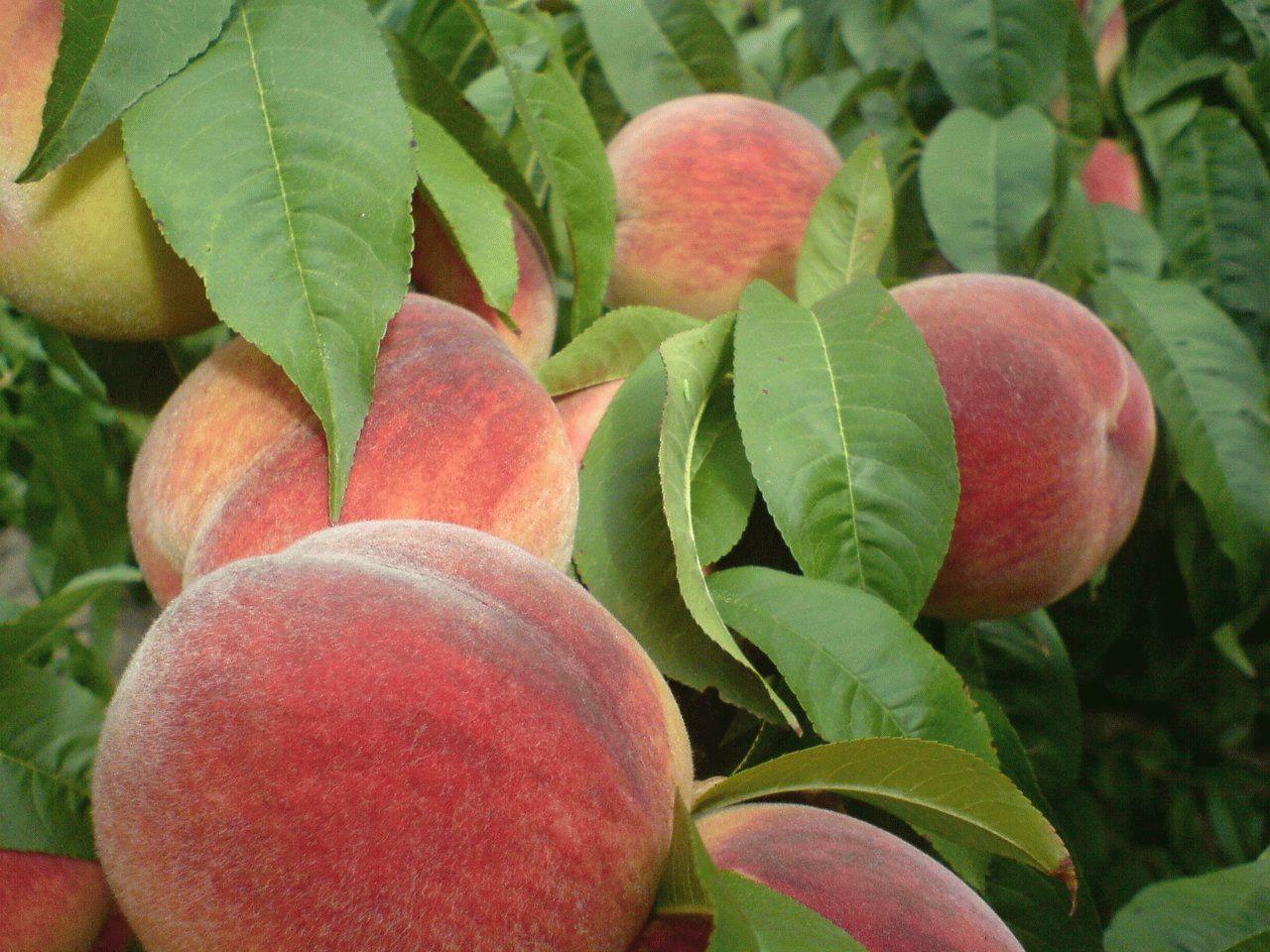 Персики Тамани
