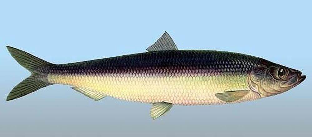 Рыба сельдь в Черном море