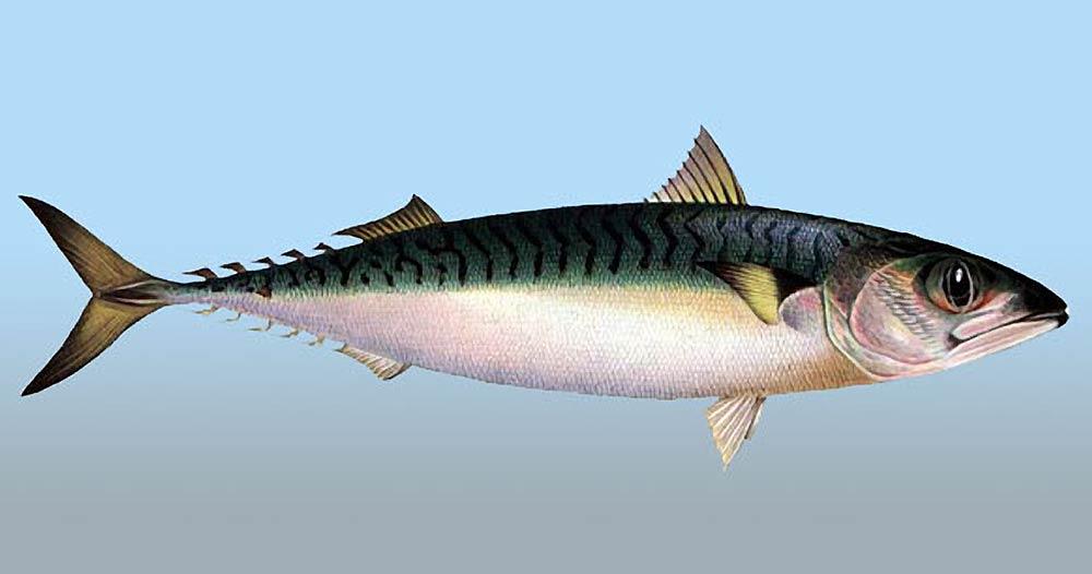 Рыба скумбрия обитающая в Черном море