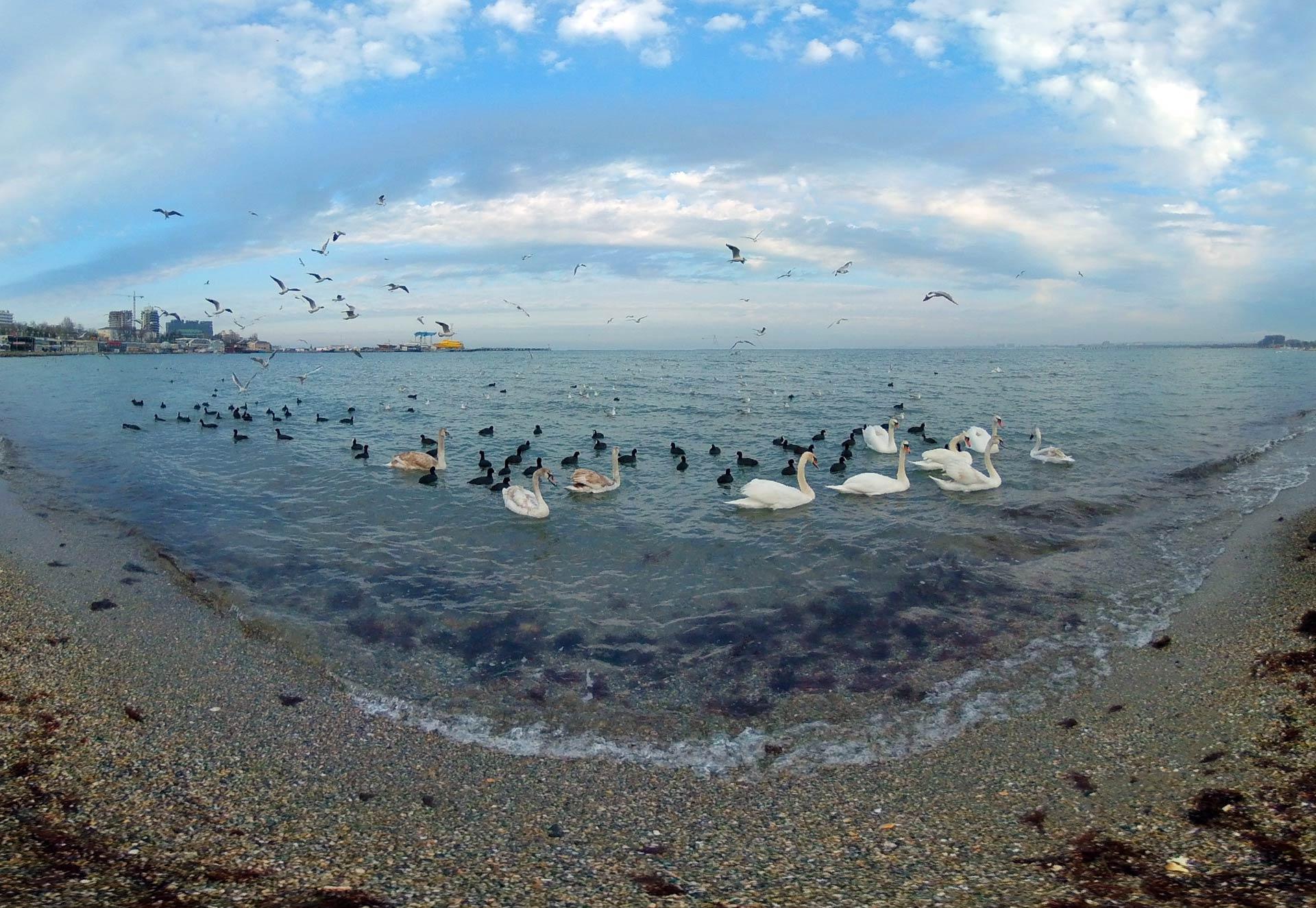 Лебеди в Анапе - Видео 360°