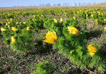 Степные растения Кубани